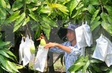Vietnam begins exporting mango to Australia