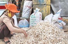 White sand overexploitation challenges garlic farming