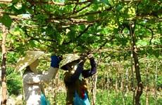 Ninh Thuan: Grapes, wine and cuisine fair opens