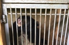 More Tibetan bears sent to rescue centre