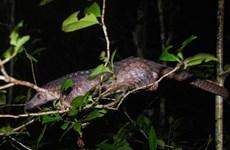 Over 60 critical endangered pangolins saved