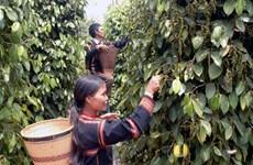 Vietnamese pepper exports surge