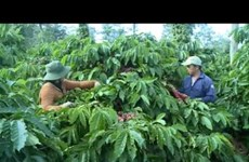 Central Highlands reduces coffee growing area