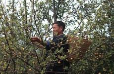 Indigenous tree helps minority escape poverty