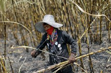 Thailand's sugarcane output falls due to drought