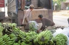 Vietnam banana exports see upbeat outlook