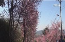Da Lat to hold cherry blossom festival in 2017