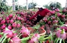 Dragon fruit needs more quality, diversity