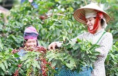 Central Highlands: High coffee prices offset decling output