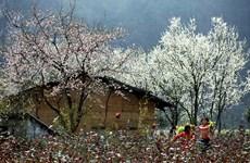 Ban flower decorates northwest region