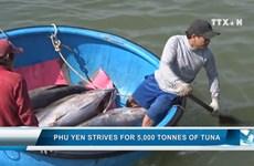 Phu Yen strives for 5,000 tonnes of tuna