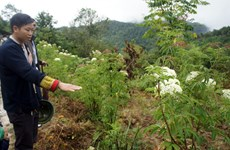 Herbal medicinal materials improve livelihoods