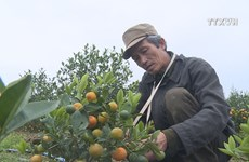 Nam Dinh kumquat market blooms as traditional Tet approaching