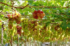 Ninh Thuan's vineyards attract tourists
