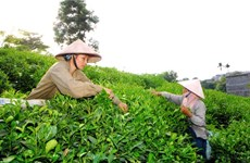Businesses, farmers struggle to develop tea brands
