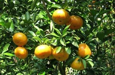 Farmers in Bac Kan wealthy thanks to tangerine trees