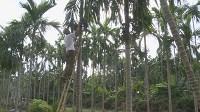 Areca trees improve livelihoods in Nam Dinh's commune