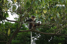 Da Nang moves to protect rare primates