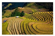 Terraced rice fields in Mu Cang Chai turn yellow