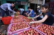 Businesses team up with Bac Giang farmers in selling lychee