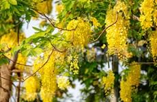 Golden shower blossom marks summer arrival in Hanoi