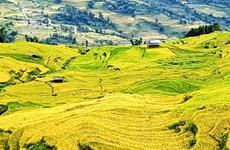 """Marvelous """"golden season"""" on terraced ripening paddy fields of Y Ty"""