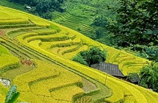 Chasing gold in Hoang Su Phi terraced rice fields