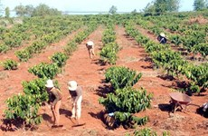 Central Highlands needs more irrigation facilities for coffee farming