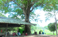 Dong Thap: ancient tree receive national heritage status
