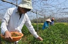 Quang Ngai farmers earn high profits as chili pepper prices soar