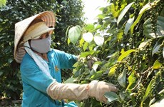 Farmers switch to pepper as coffee prices fall