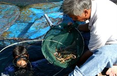 Fishermen target young lobsters
