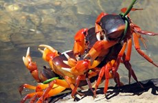 Quang Nam promotes sustainable exploitation of terrestrial crabs