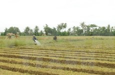 Binh Dinh: Scallions dried up by drought