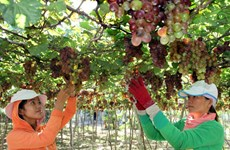 Grapes and Wine Festival 2016 to open in Ninh Thuan