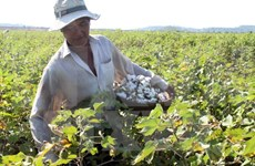 Vietnam to suspend raw cotton import from Ghana