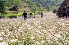 Buckwheat fest in its full bloom