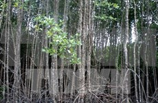 Mangrove forests protect sea dykes in Quang Tri