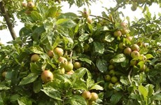 Production and consumption chain needed for assam apples