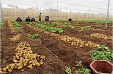 Vietnamese potato supply fails to meet demand