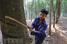Vietnam ranks 3rd in natural rubber export