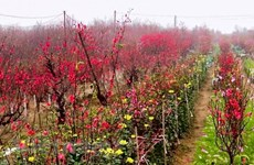 Dinh Bang peach blossom village gets busy ahead of Tet