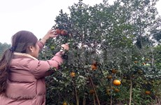 """Bu"" orange a key agricultural product of Huong Son"
