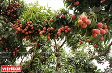 Luc Ngan looks to become key fruit farming centre of Vietnam