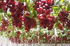 Ninh Thuan develops more grape varieties for making wine