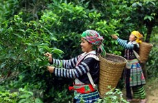 Phin Ho 'shan tuyet' tea – well-known specialty of Ha Giang