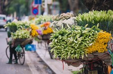 'Flower of April' shows off beauty on Hanoi streets
