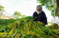 Me Tri village resumes production of 'com' - autumn delicacy of Hanoi
