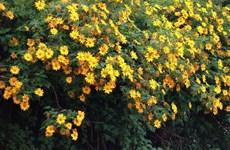 Dien Bien wild sunflowers in full swing