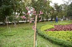 First Japanese sakuras begins to bloom in Hanoi